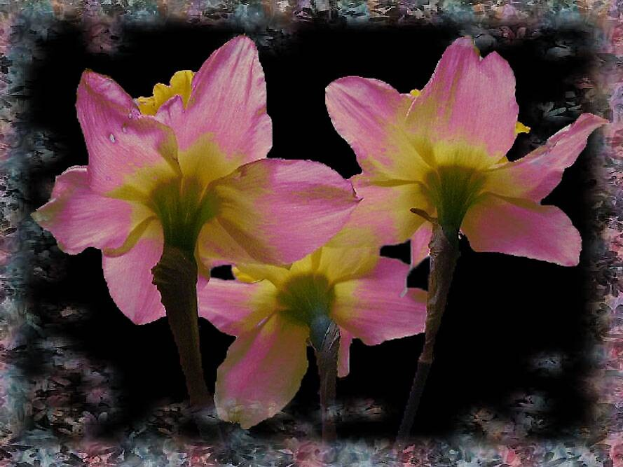 Soft Pink Narcissus with Frame by tonymm6491