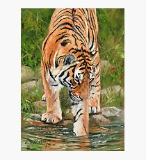 Tiger. Testing The Water Photographic Print