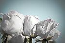 White rose buds by missmoneypenny