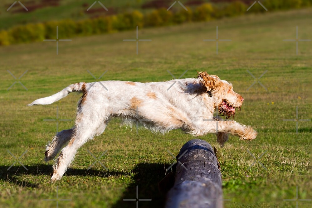 Orange and White Italian Spinone Dog in Action by heidiannemorris