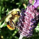 Lavender Bee by AnnDixon