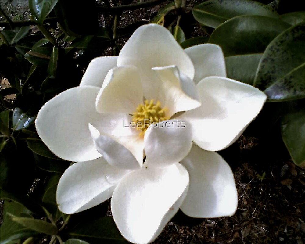 Southern Magnolia by LeeRoberts