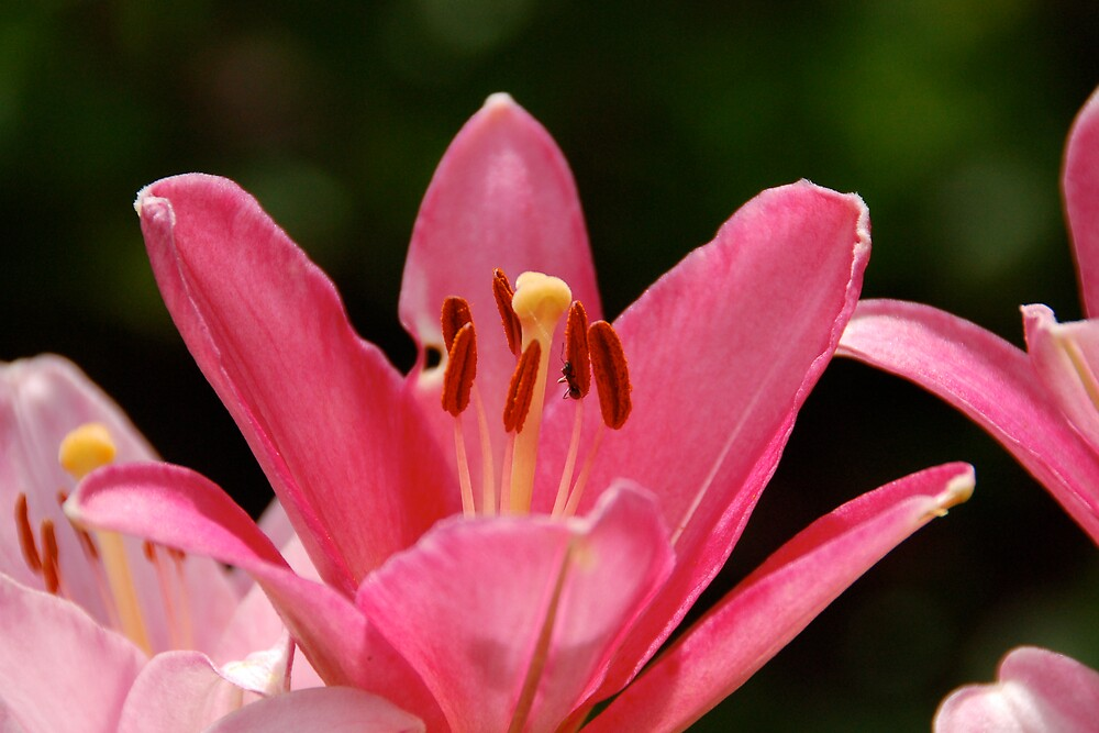 Pink Lily by pulsdesign