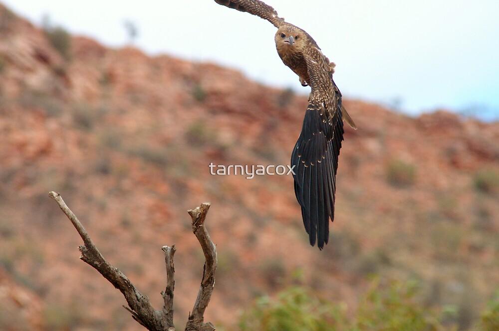 Whistling Kite Incoming by tarnyacox