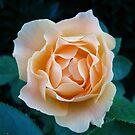 Peach Rose~ by virginian