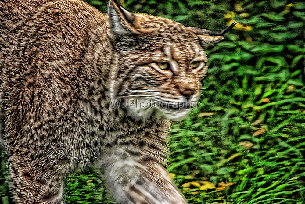 On The Prowl by WJPhotography