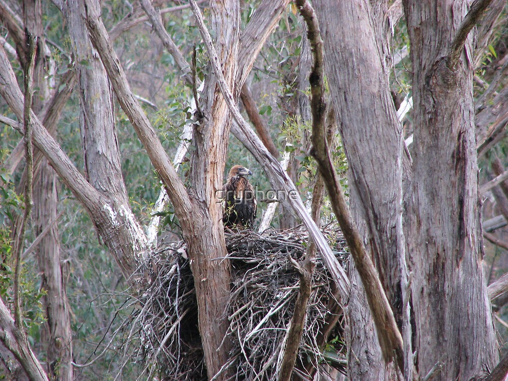 wedge tailed eaglet in Victoria Australia by gryphone