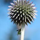Globe Thistle by Stephie Butler