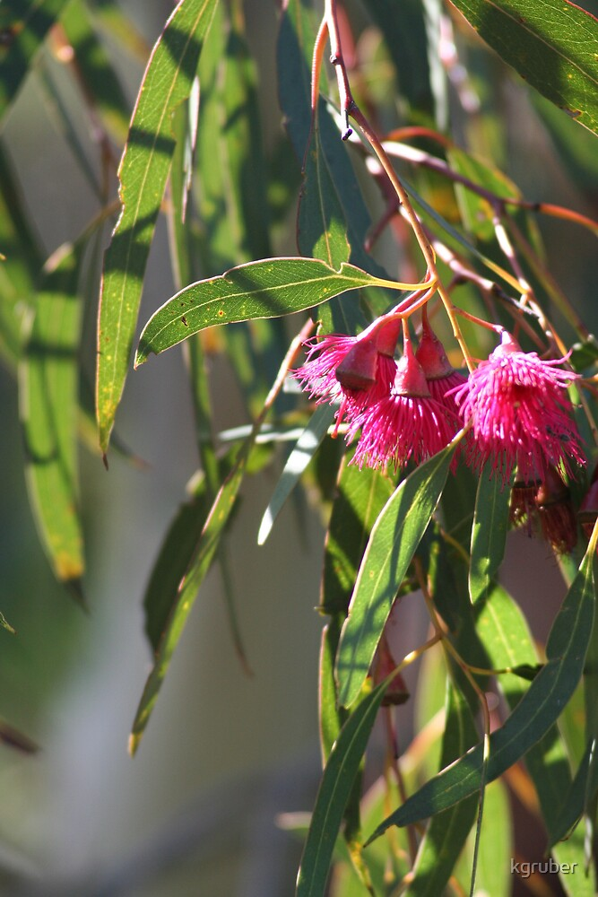 Eucalypt in Flower by kgruber