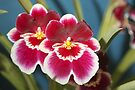 Miltonia's by Normf