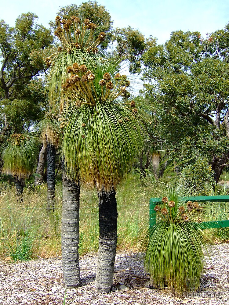 Grass tree2 by Claire  Farley