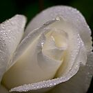White rosebud in the rain by Celeste Mookherjee