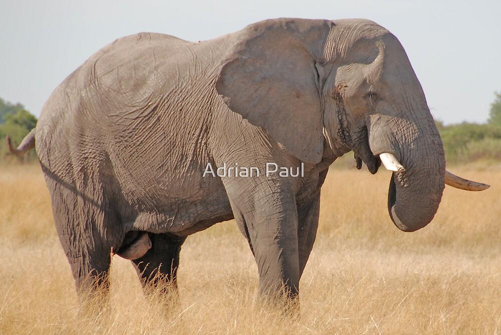 Bull Elephant, Moremi Game Reserve, Botswana by Adrian Paul