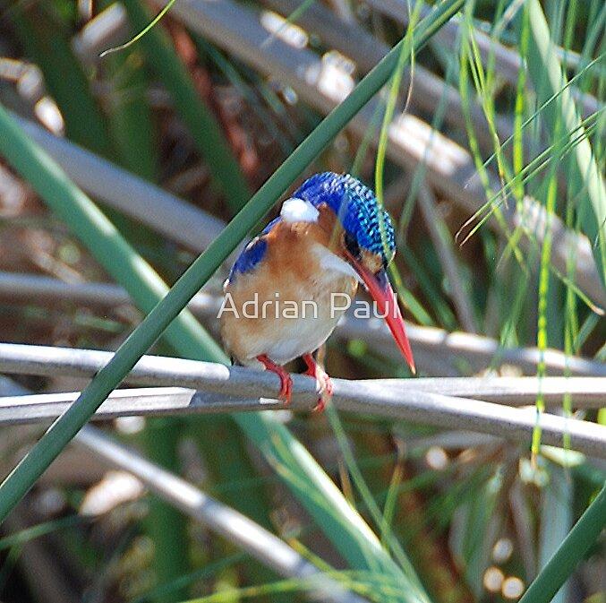 Malachite Kingfisher, Okavango Delta, Botswana, Africa by Adrian Paul