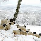 Sheltering Flock - Sheep in Christmas Snow by John Kelly Photography (UK)