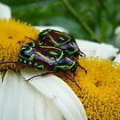 Fiddler Beetles, Eupoecila australasiae by peterstreet