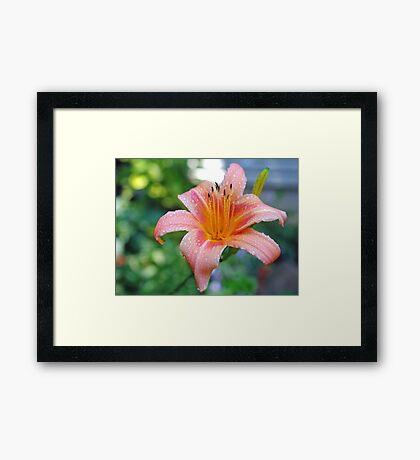 A Single Lilly Framed Print