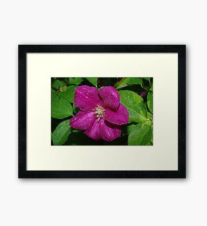 Clematis Bloom Framed Print