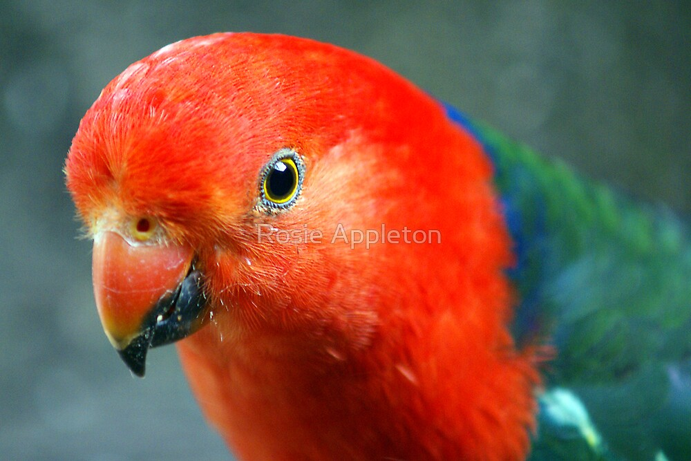 King Parrot by Rosie Appleton