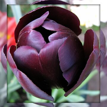 Burgundy Tulip in Mirrored Frame by BlueMoonRose