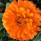Marigold with Raindrops by Douglas E.  Welch