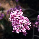 Pink Boronia by kalaryder