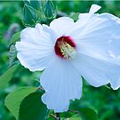 White Hibiscus by BigD