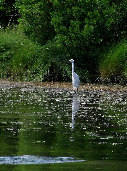 Egret and Reflection by mooner1