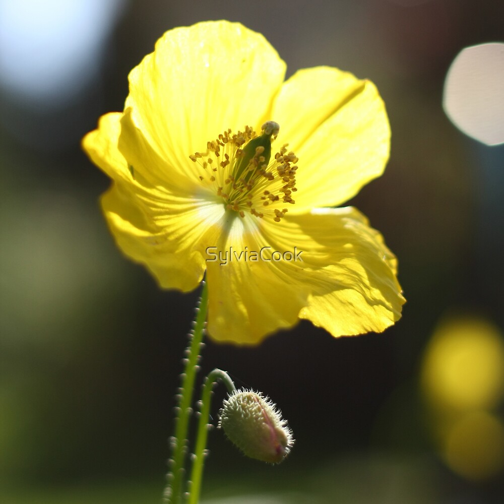 Yellow poppy by SylviaCook