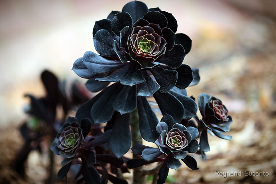 Black Lotus by Reynandi Susanto
