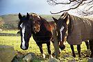 Horses in Llanfairfechan by Michael Haslam