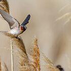 Wind -- Cliff Swallow by Tom Talbott