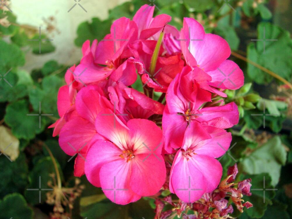 geranium by Kimberly Miller
