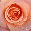 Pink in Rain by Daniel H Chui