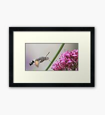 Hummingbird hawk-moth Framed Print