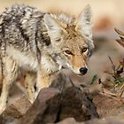 """""""You're in my way"""" -- Young Coyote by Tom Talbott"""