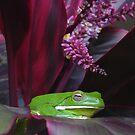 White Lipped Tree Frog, Litoria infrafrenata by peterstreet