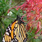 Monarch Butterfly, Danaus plexippus by peterstreet