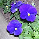Blue Pansy by JulieMahony
