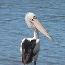 Australian Pelican, Pelecanus conspicillatus by peterstreet