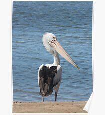 Australian Pelican, Pelecanus conspicillatus Poster