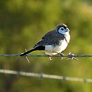Double-barred Finch by Jenelle  Irvine