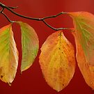 Dogwood Leaves on Red by Anna Lisa Yoder