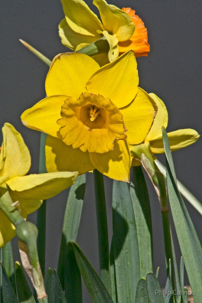 daffodil4 by Philip Cannon