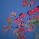 Pink and blue by Maureen Brittain