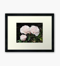 Peonies with a bee Framed Print