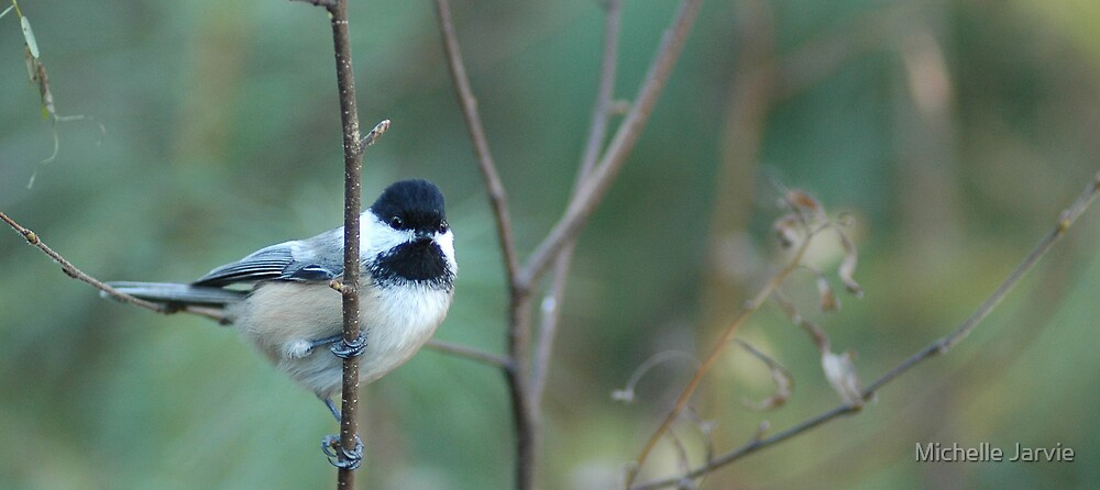 Black-Capped Chickadee by Michelle Jarvie