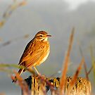Australasian Pipit Keeping a Lookout  by Jenelle  Irvine