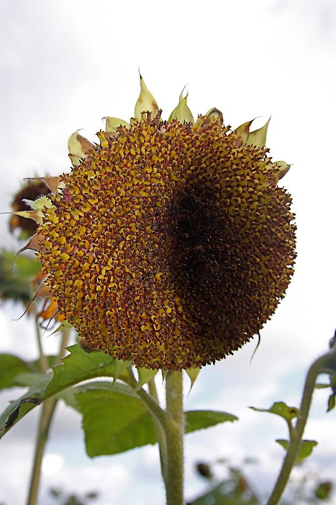 Not So Sunflower by IanPharesPhoto
