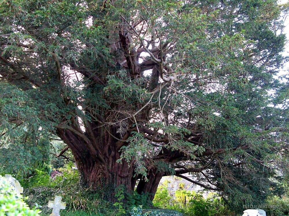 Ancient Yew by naturalimages